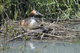 Great Crested Grebe (Podiceps cristatus) laying eggs !