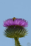 A bee digging in a Nodding Thistle (Carduus nutans)