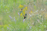 Couple of European Bee-eaters (Merops Apiaster)