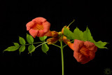 Trumpet vine flowers (Campsis Radicans)
