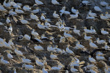 Colony of Northern Gannet at Rouzic Island