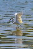 Great White Egret (Ardea Alba)