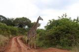 Giraffe by the roadside