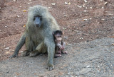 Baboon mum and baby