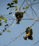 Weaver birds making nests