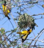 Weaver bird making nest