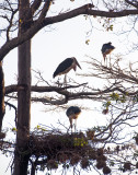 Marabou Storks in a tree