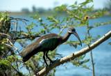 Hadada Ibis on Lake Victoria