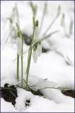Snowdrop - galanthus nivalis (2)