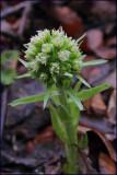 White butterbur - petasites albus