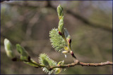 Goat willow - salix caprea (pussy willow)  female catkins