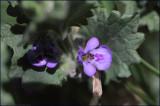 Ground-ivy - glechoma hederacea