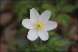 Wood amemone - anemone nemorosa