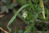 Common chickweed - stellaria media
