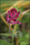 Common fumitory - fumaria officinalis.