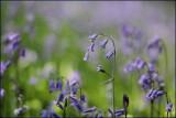 Common bluebell - hyacinthoides non-scripta