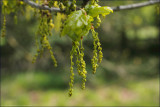 English oak -Quercus robur