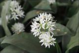 Ramsons (wild garlic) - allium ursinum