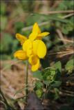 common bird's-foot trefoil - lotus corniculatus