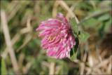 Red clover -Trifolium pratense