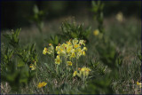 False oxlip - Primula veris x vulgaris