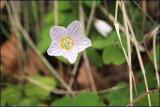 Wood sorrel - oxalis acetosella