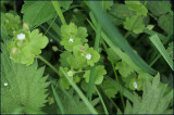 Ivy-leafed speedwell - veronica hederifolia