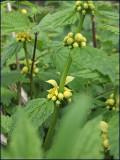 Yellow archangel - lamiastrum galeobdolon