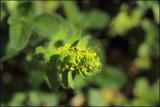 Crosswort - cruciata laevipes