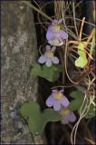 Ivy-leafed toadflax - Cymbalaria muralis