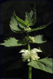 White dead-nettle - lamium album