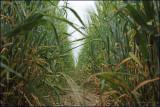 Pooch's eye view of the barley field