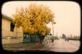Avoca Yellow Tree