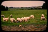 Langi Logan Sheep