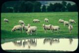 Reflectorised Sheep