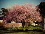 70s Pink Bush