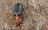 Brachinus crepitans