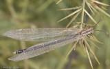 Creoleon lugdunensis