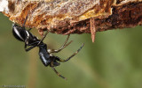 Leptorchestes mutilloides_EM-0062373.jpg
