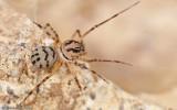 Scytodes delicatula_EM-93621.jpg