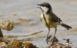 Chapim Real - Parus major