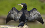 Corvo Marinho - Phalacrocorax carbo