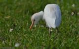 Bubulcus ibis EM-0086925.jpg