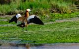 Pato Casarca - Tadorna ferruginea