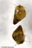 Hydrobia ulvae EM-0078448.jpg