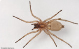 Drassodes lapidosus EM-96747.jpg