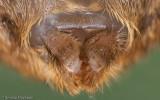Zoropsis spinimana_EM.jpg
