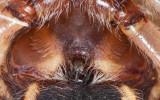 Larinioides cornutus_0000 EM-94393-2.jpg