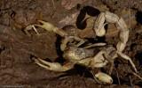 Buthus ibericus_EM-0061033.jpg