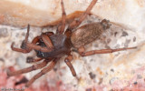 Haplodrassus severus_0000 EM-95171.jpg